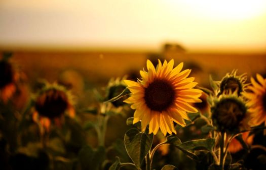 sunflower-photography-tumblr-wallpaper-1.jpg